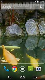 koi pond video live wallpaper