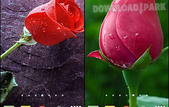 Rain rose live wallpaper