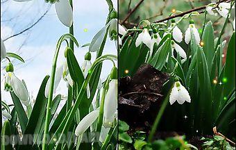 Spring snowdrop
