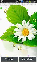 summer camomile