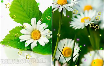 Summer camomile