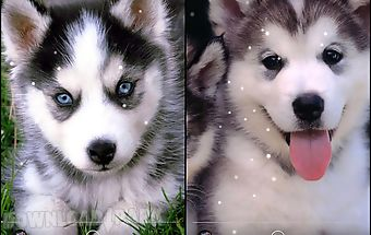 Husky live wallpaper