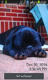 playful pugs
