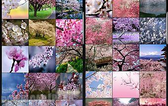 Sakura cherry blossoms hd wall