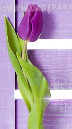 purple tulips live wallpaper