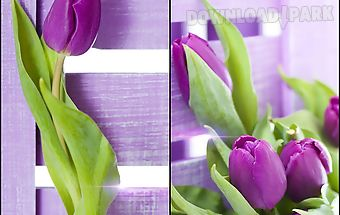 Purple tulips live wallpaper