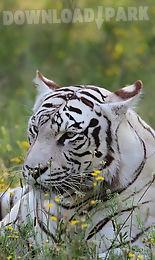 bengal tiger live wallpaper