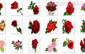 New rose flowers onet classic ga..