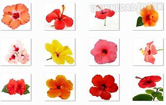 Hibiscus flowers onet classic ga..