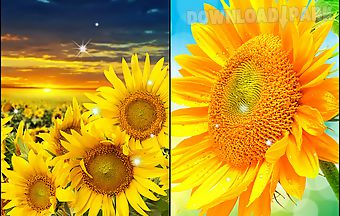 Sunflower by creative factory wa..