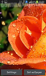 drops and roses