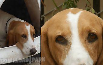 Kiss a basset hound