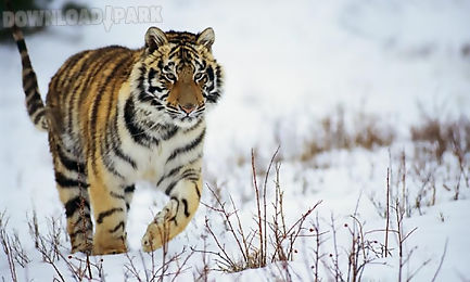 tiger hd lwp lite