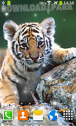 Little Tiger Android Live Wallpaper Free Download In Apk