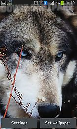 wolf by hq awesome live wallpaper