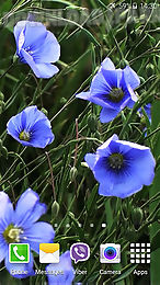 blue flowers by jacal video live wallpapers