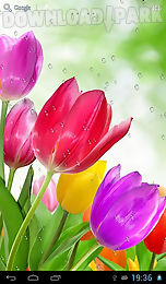 drops on tulips