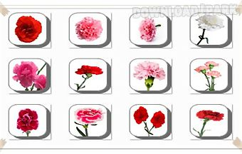 Carnation flowers onet classic g..