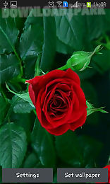 blooming red rose